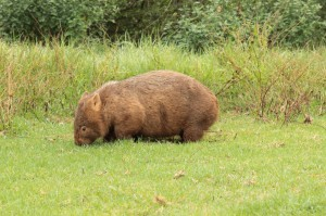 Notre premier wombat