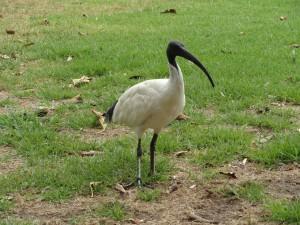 Un ibis à cou noir qui se promène dans les parcs comme les pigeons se promènent chez nous