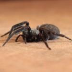 Une black house spider (araignée noire de maison) d'environ 3 cm