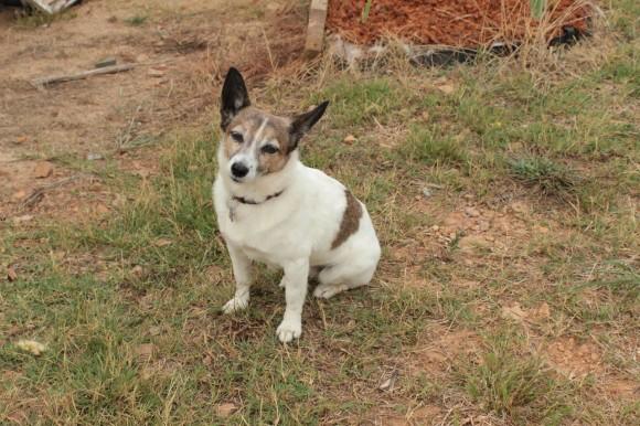Tess, le chien qui aime les promenades en camion, le museau par la fenêtre, et qui aboie à la vue des kangourous