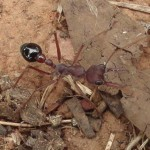 Une drôle de fourmi de 10 à 15 mm