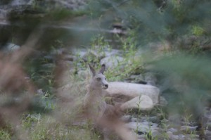 Oh un ornithorynque... ha non, un kangourou assoiffé