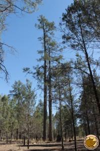 Des pins de 400 ans