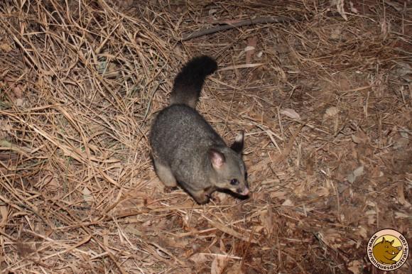 Un opossum est venu nous rendre visite à la nuit tombée.