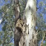 Tel un koala