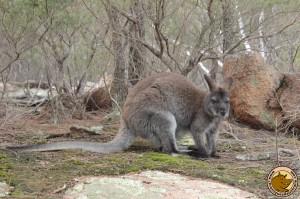 Rencontre avec un bennetts wallaby