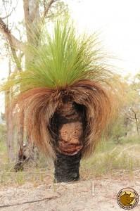 Surpris par un grass tree