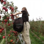 Lucie cueille des pommes en Tasmanie