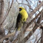 Perruche à ventre jaune