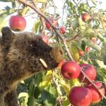 aladolar dans les pommes