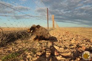 Viendez les dingos, même pas peur !