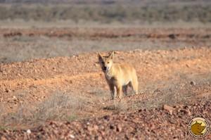 Un dingo curieux