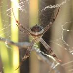 Une araignée inconnue