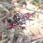 Une araignée diamant