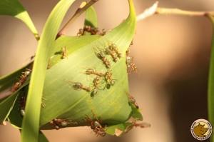 Nos ennemis les fourmies vertes en train de construire leur nid