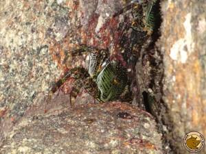 Des crabes verts